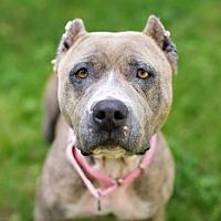 Adopt A Pet :: Elfie - Armonk, NY