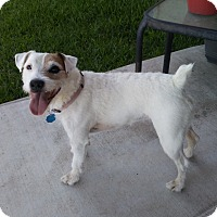 Adopt A Pet :: Bella in Austin, TX - San Antonio, TX