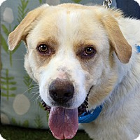 Great Pyrenees Mix Dog for adoption in Yakima, Washington - Macho