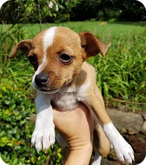 Chihuahua/Jack Russell Terrier Mix Puppy for adoption in Allentown, New Jersey - Sadie