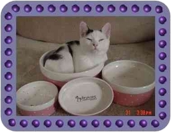 Domestic Shorthair Kitten for adoption in KANSAS, Missouri - OREO