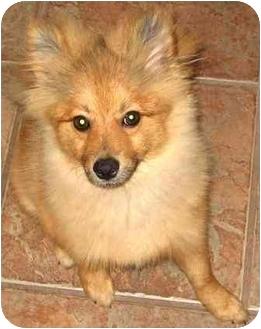 Pomeranian Puppy for adoption in Houston, Texas - Teddy