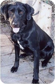 Labrador Retriever Mix Dog for adoption in Owatonna, Minnesota - Sheldon