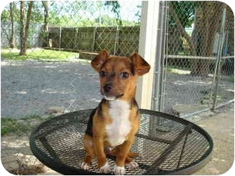 Terrier (Unknown Type, Medium)/Chihuahua Mix Puppy for adoption in Baton Rouge, Louisiana - Boudreaux