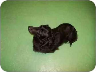 Dachshund Mix Dog for adoption in Spokane, Washington - Midnight