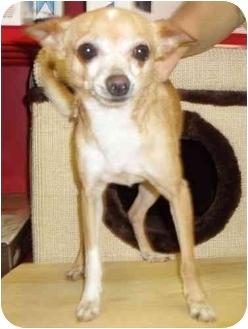 Chihuahua Mix Dog for adoption in Fairmount, Georgia - Chico