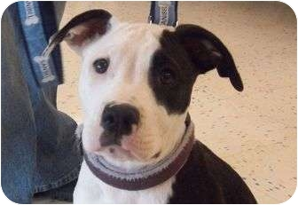 American Pit Bull Terrier Mix Puppy for adoption in Livonia, Michigan - Patch-Adopted 05/06/11