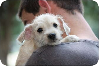 Jack Russell Terrier/Cairn Terrier Mix Puppy for adoption in Prince William County, Virginia - timmy