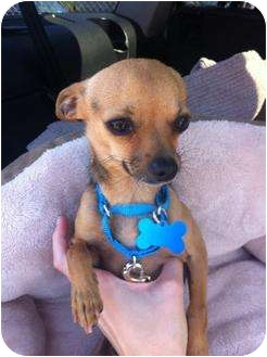 Chihuahua Mix Dog for adoption in Milan, New York - Spense