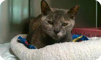 Domestic Shorthair Cat for adoption in Lunenburg, Massachusetts - Sarah