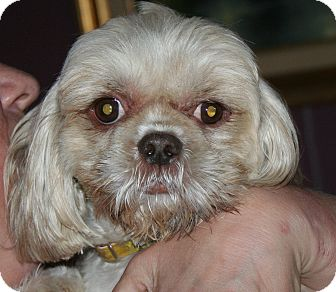 Shih Tzu Mix Dog for adoption in Westfield, Indiana - Autumn