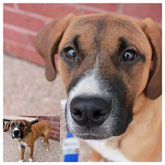 Boxer/Mastiff Mix Puppy for adoption in Garden City, Michigan - Phil