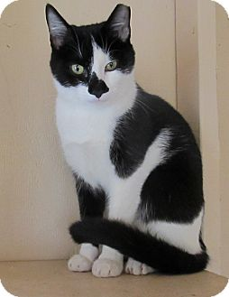 Domestic Shorthair Cat for adoption in Bedford, Virginia - Andy
