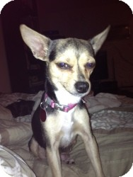 Chihuahua Mix Dog for adoption in Encino, California - Roxie