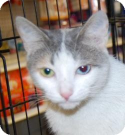 Calico Cat for adoption in Brooklyn, New York - Chloe