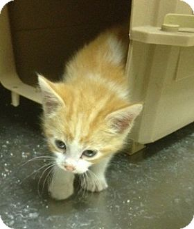 Domestic Mediumhair Kitten for adoption in Sterling, Kansas - OMalley