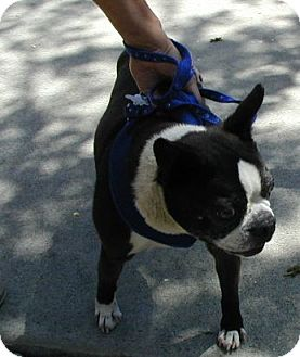Boston Terrier Dog for adoption in Temecula, California - Moose