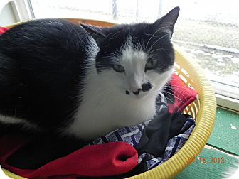 Domestic Shorthair Cat for adoption in Buffalo, Wyoming - Spot