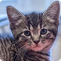 Adopt A Pet :: Pixie - Chicago, IL