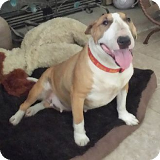 Bull Terrier Dog for adoption in Los Angeles, California - Baily