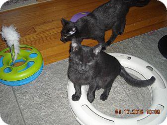 Domestic Shorthair Kitten for adoption in Riverside, Rhode Island - Pepper