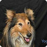 Adopt A Pet :: Yogi - COLUMBUS, OH