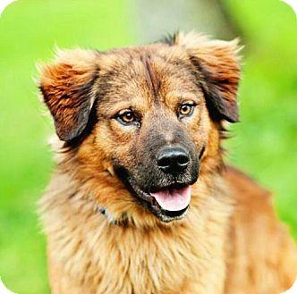 Shepherd (Unknown Type) Mix Dog for adoption in Allentown, Pennsylvania - Roscoe
