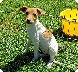 Corgi/Feist Mix Puppy for adoption in Liberty Center, Ohio - Tenderloin