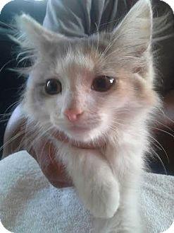 Domestic Mediumhair Kitten for adoption in Columbus, Ohio - Skittles
