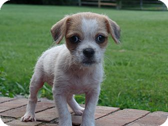 Shih Tzu/Yorkie, Yorkshire Terrier Mix Puppy for adoption in Haggerstown, Maryland - Lindsey