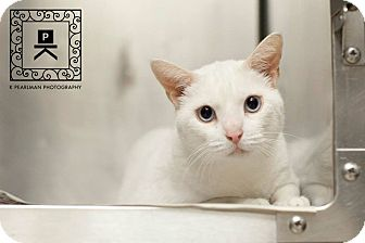 Domestic Shorthair Cat for adoption in Fredericksburg, Virginia - Felicity