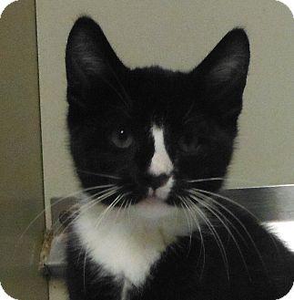 Domestic Shorthair Kitten for adoption in Cedartown, Georgia - 30091564