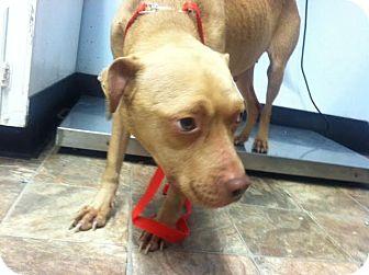Labrador Retriever/American Pit Bull Terrier Mix Dog for adoption in Darlington, South Carolina - Stella