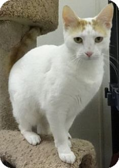 Domestic Shorthair Cat for adoption in Olive Branch, Mississippi - Lizzy