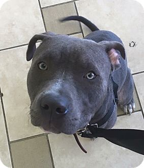 Pit Bull Terrier Mix Dog for adoption in Loxahatchee, Florida - Kash