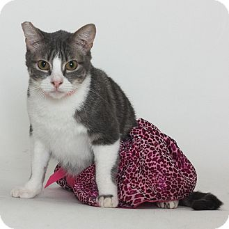 Domestic Shorthair Cat for adoption in Stockton, California - Piper