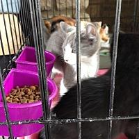 Domestic Shorthair Cat for adoption in Columbus, Ohio - Angus