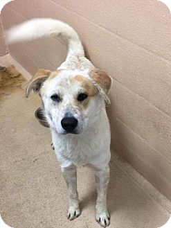 Great Pyrenees/Retriever (Unknown Type) Mix Dog for adoption in Westminster, Colorado - Ollie