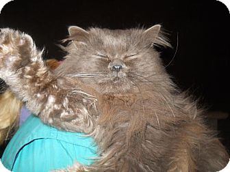 Persian Cat for adoption in Palo Cedro, California - Mr. Smoke