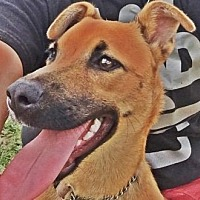 Shepherd (Unknown Type)/Miniature Pinscher Mix Dog for adoption in Homestead, Florida - Cali
