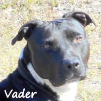 Pit Bull Terrier Mix Dog for adoption in Palm Coast, Florida - VADER