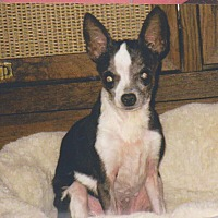 Chihuahua Dog for adoption in Poplarville,, Mississippi - Morticia (Tisha)