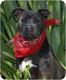 American Pit Bull Terrier Puppy for adoption in San Pedro, California - Mindy