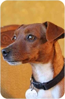 Fox Terrier (Smooth)/Jack Russell Terrier Mix Dog for adoption in Portland, Oregon - Corky