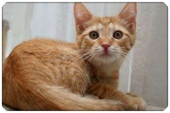 Domestic Shorthair Cat for adoption in Sterling Heights, Michigan - Lyric - ADOPTED!