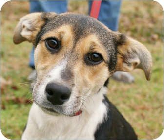 Corgi/Beagle Mix Puppy for adoption in Westport, Connecticut - *Angela - PENDING