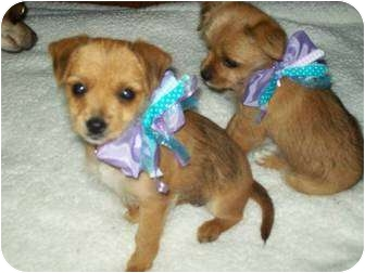 Yorkie, Yorkshire Terrier/Chihuahua Mix Puppy for adoption in Westport, Connecticut - Cupcake
