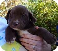 Labrador Retriever/Terrier (Unknown Type, Medium) Mix Puppy for adoption in Plainfield, Connecticut - Mocha