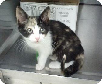 Calico Kitten for adoption in Stillwater, Oklahoma - Hellen