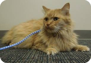 Domestic Longhair Cat for adoption in Mt. Prospect, Illinois - Sheamus